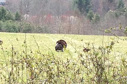 A wild turkey gobbler with full fan extended.